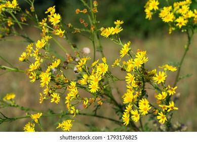 Jacobaea vulgaris,   fleurs jaunes d'agora dans un pré en gros plan mise au point sélective