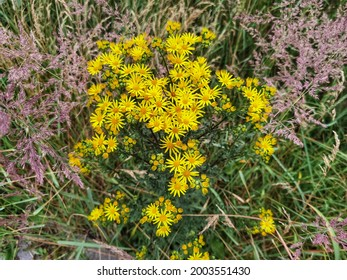 Jacobaea vulgaris, Senecio Jacob. Yellow blooming Ragwort.