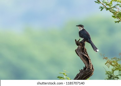 The Jacobin cuckoo, pied cuckoo, or pied crested cuckoo perched on a branch. also known as Clamator jacobinus.