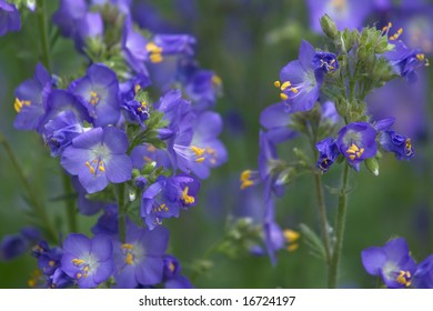 Jacob's Ladder or Greek valerian (Polemonium caeruleum)