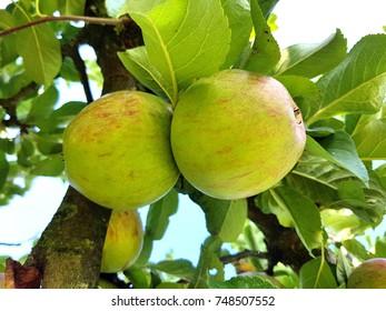 Jacobsapfel, Apple, malus, domestica