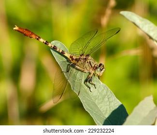 Jade Clubtail Dragonfly (Arigomphus submedianus)