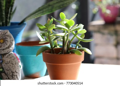 Jade plant with bright green leaves in a clay pot in a sunny patio garden.