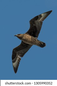 Jaeger Seagull With Widespread Wings Flies Over Sky In Scotland