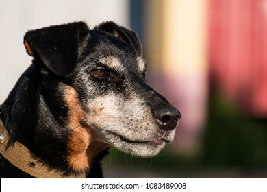 Jagdterrier looks with a stern gaze. German Hunting Terrier in half-profile