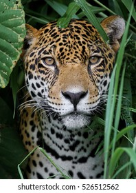 Jaguar in the Amazon Jungle