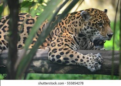 A Jaguar in the Amazon rain forest. Iquitos, Peru