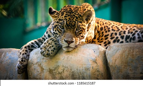A Jaguar in the Amazon rain forest, Playful young beautiful jaguars in the jungle, Leopard in the jungle, leopard in tree, closeup of jaguar.