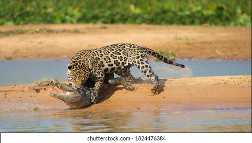Jaguar attacking cayman crocodile, animals in wild nature, prey hunting