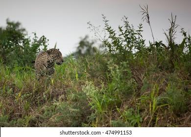 Jaguar in Brazilian Pantanal