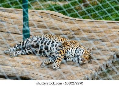 Jaguar in captivity