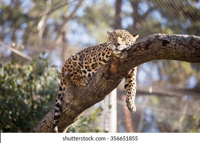 Jaguar in captivity sleeping in a tree