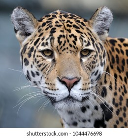 Jaguar close up portrait