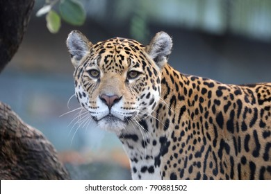 Jaguar close-up portrait