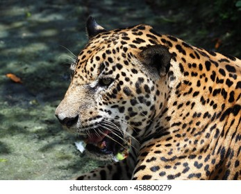 Jaguar, Costa Rica