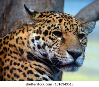 Jaguar cub is a big cat, a feline in the Panthera genus only extant Panthera species native to the Americas. Jaguar is the 3 largest feline after the tiger and lion, and the largest in the Americas.