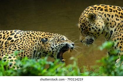 Jaguar  in Double Cat Fight