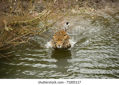 Jaguar entering water for a swim with copy space and selective focus