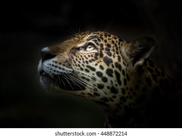 Jaguar face.