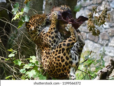 Jaguar feeding on cows head