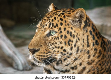 jaguar with green eyes looking into the distance, close up, head in focus