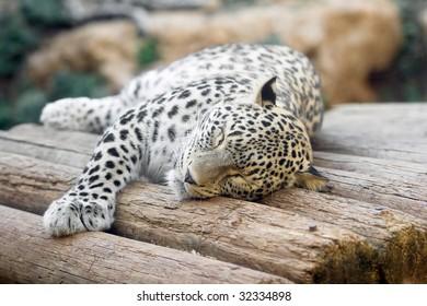 Jaguar having a nap