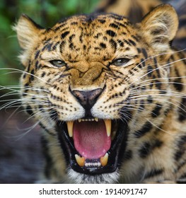 Jaguar head with open jaws