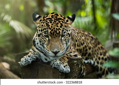 Jaguar in jungle resting
