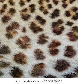 Jaguar, leopard and ocelot skin texture.