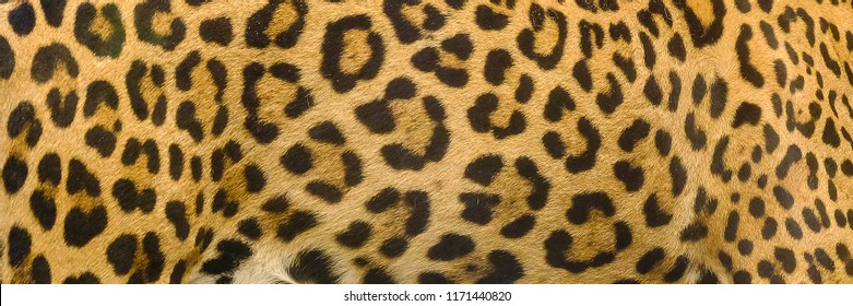 Jaguar, leopard and ocelot skin texture background