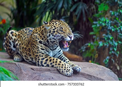 Jaguar leopard roaring to establish dominance.