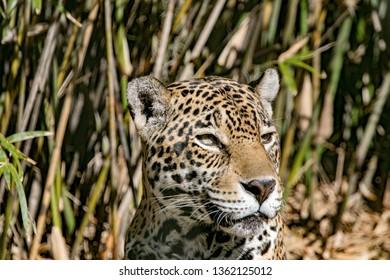 Jaguar looking around