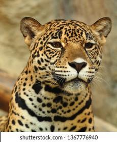 Jaguar looking forward
