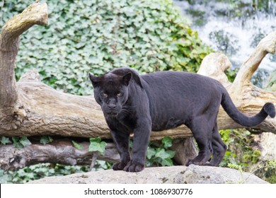 jaguar looking for her male counterpart.