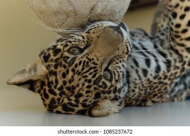 Jaguar in Nature