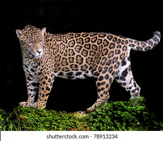 Jaguar on a black background