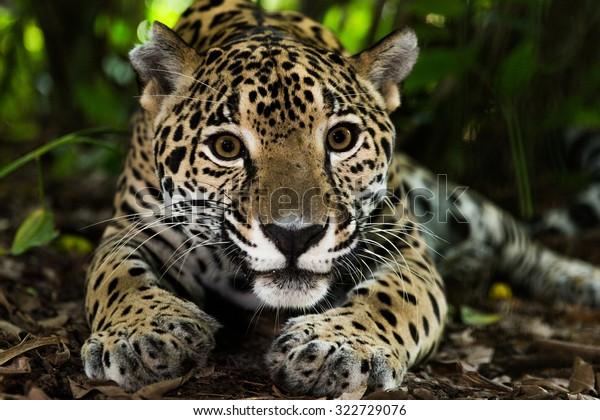 Jaguar on jungle floor