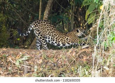 Jaguar on riverbank from Pantanal, Brazil. Wild brazilian feline. Nature and wildlife. Panthera onca