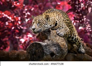 Jaguar on the timber.