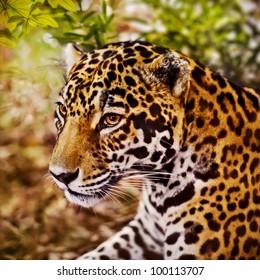 Jaguar, (Panthera onca)