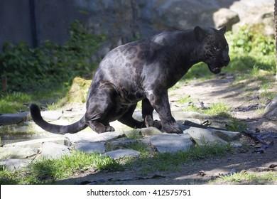 Jaguar Panthera onca, black form, during defecation