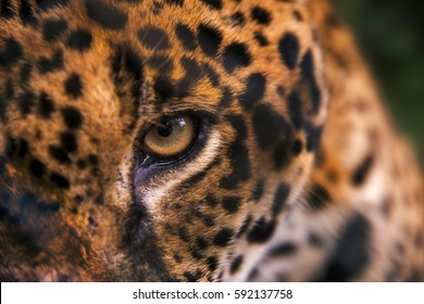 Jaguar (Panthera onca) eyes, in captivity, at a wild cats rehab center, photographed in Goiais, Brazil. Cerrado Biome.