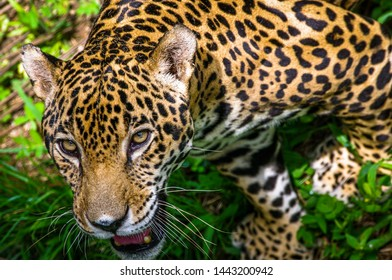 Jaguar – Panthera onca image taken in Panama