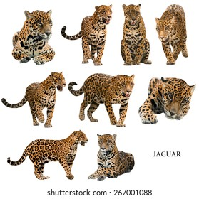 jaguar ( panthera onca ) isolated on white background
