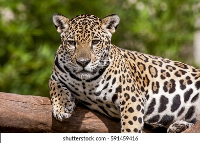 Jaguar (Panthera onca), lay on branch, photographed in Espi­rito Santo, Brazil. Atlantic Forest Biome. Captive animal.