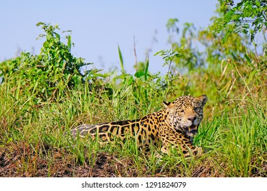 Jaguar, Panthera Onca, on a riverbank, Cuiaba River, Porto Jofre, Pantanal Matogrossense, Mato Grosso, Brazil South America
