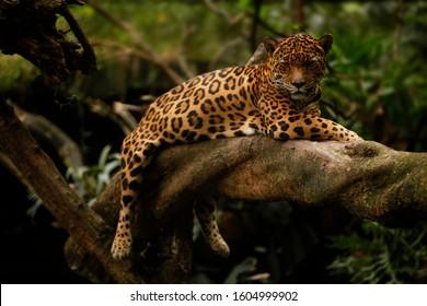 a jaguar (Panthera onca) rests on a tree