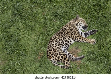 Jaguar( Panthera onca) sleeping soundly on the grass.