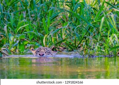 Jaguar, Panthera Onca, swims across Cuiaba River, Porto Jofre, Pantanal Matogrossense, Mato Grosso do Sul, Brazil, South America