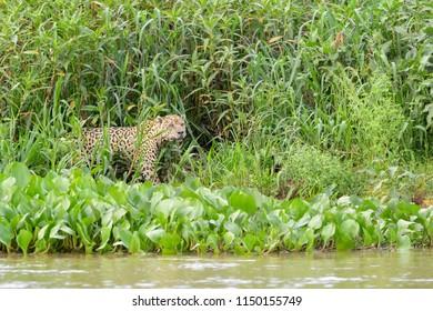 Jaguar (Panthera onca) walking in wetland by Cuiaba river, Pantanal, Mato Grosso, Brazil